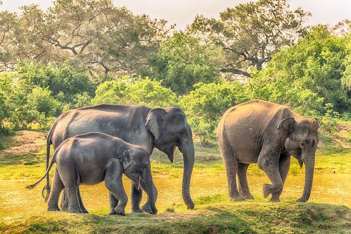free roaming elephants in udawalawe national park