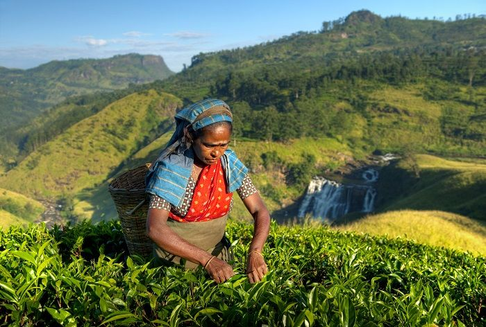 tea picking woman in sri lanka