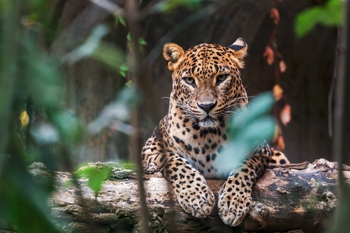 sri lankan leopard (panthera pardus) in the jungle