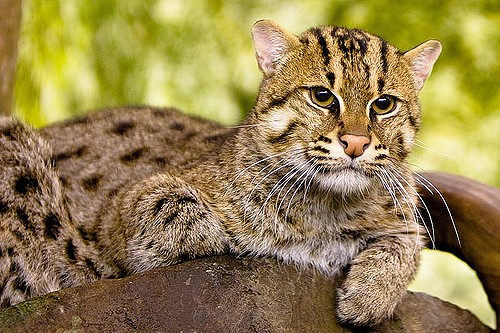 fishing cat is also known as hadun diviya