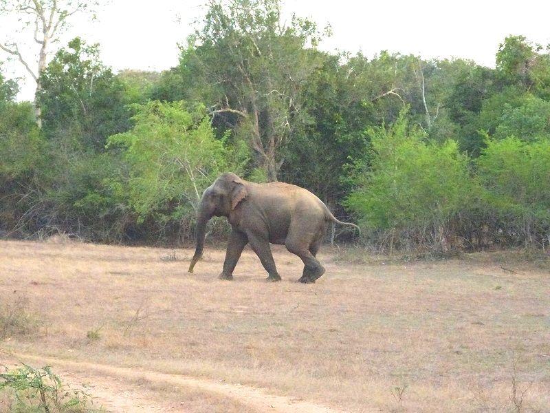 elephant bull at lunugamvehera