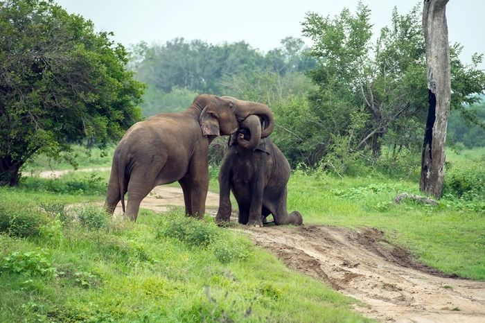 sri lankan elephants at yala